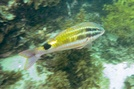 Blacksaddle goatfish